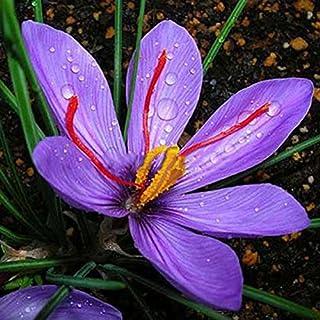 Rosepoem Plantas del jardín de flor del azafrán 8pcs semillas de hortalizas Bonsai Decoración