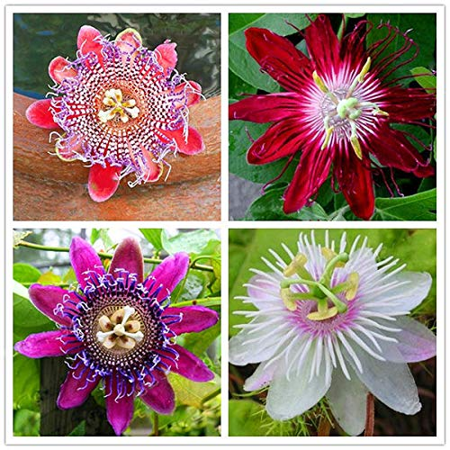 Egrow 50Pcs / Pack Semi di fiori della passione Giardino Raro Passiflora Incarnata Semi di piante da frutto - 3