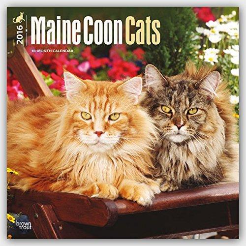 Maine Coon Cats 2016 - Hundekatzen - 18-Monatskalender: Original BrownTrout-Kalender [Mehrsprachig]