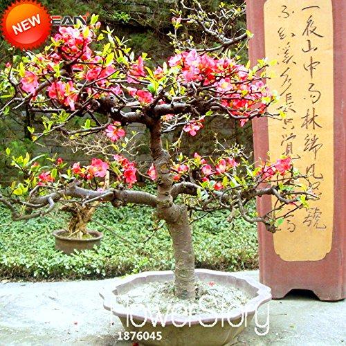 Graines Perte Promotion! 10 graines Graines / Lot Begonia Fleur 100% Vrai Graines Malus Spectabilis Potted Begonia Bonsai plantes, # VL8PJD