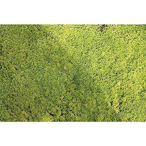Thymus pulegioides 'E.B.Anderson' - Garten-Thymian 'Bertram Anderson' - 9cm Topf