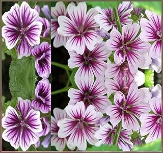 15 x ZEBRINA HOLLYHOCK Seed - STUNNING FRENCH HOLLYHOCK ~ Contrasting Violet Stripes - MALVA ZEBRINA ~ FLOWER SEEDS - By MySeeds.Co