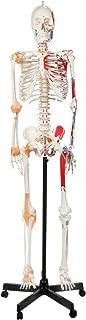 Best clay skeleton model Reviews