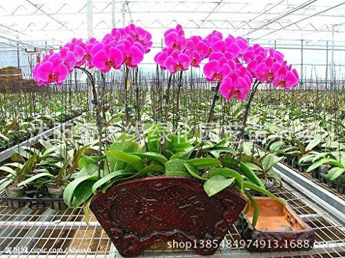 Semences et fermes, 100 graines d'orchidées Phalaenopsis
