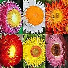 STRAWFLOWER 250 SEEDS SWISS GIANTS MIX Cut Flower Drought Helichrysum bracteatum