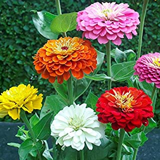 Zinnia Seeds - Dahlia Flowered - Packet, Pink/White/Red/Orange/Purple/Yellow Flowers
