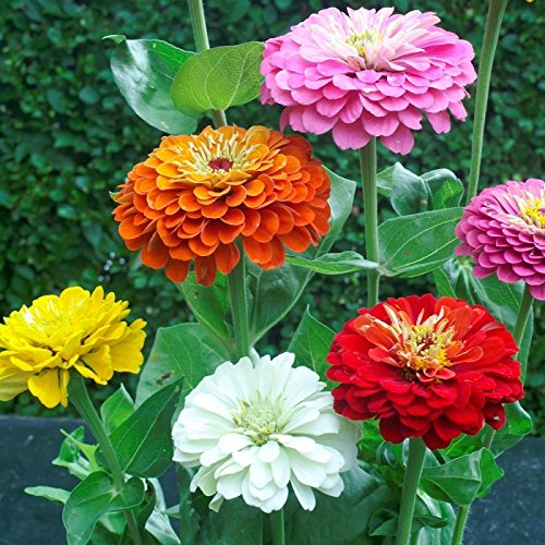 Zinnia colorful flowers