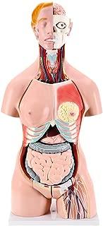 Anatomical Medical Torso Model 32 Parts, 33.5
