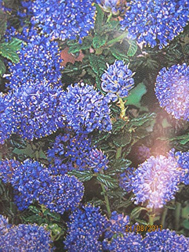 Ceanothus Blue Mound - Säckelblume Blue...