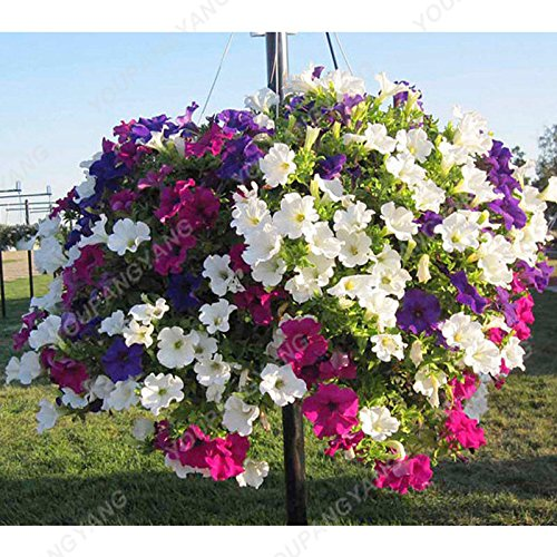 200pcs rares Hanging Pétunia Graines de fleurs Graines de fleurs pour réel jardin Plantation Bonsai Graines Petunia belles plantes en pot noir