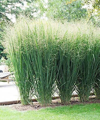 AIMADO Samen-100 Pcs Rutenhirse 'Fontaine' Bio Samen,Grasssamen pflegeleicht und frosthart,verfärbt sich im Herbst goldbraun Ziergras Saatgut ideal für Garten