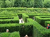 Maze Plant Seeds- English Yew Tree - 20 Seeds