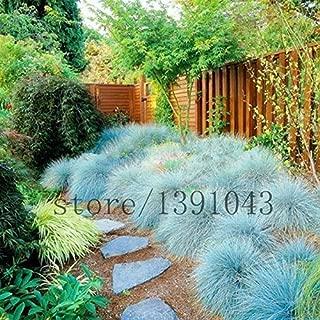 100 Blue Fescue Grass Seeds - (Festuca glauca) perennial hardy ornamental grass so easy to grow grass for home garden