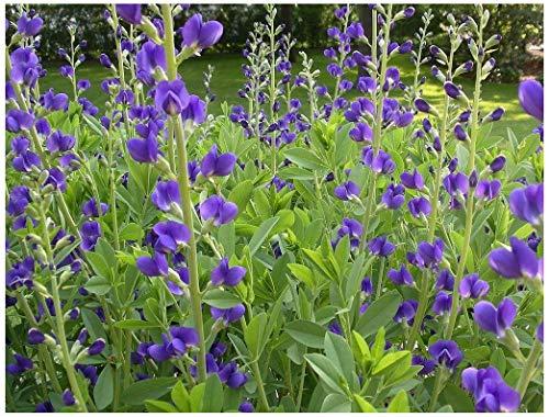 蓝色假靛蓝(Baptisia australis),种子包,真生种子