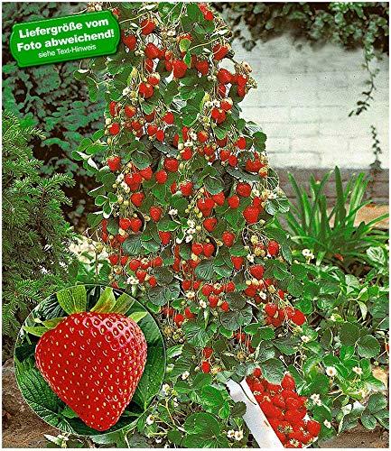 BALDUR Garten Kletter-Erdbeere Hummi, 6 Pflanzen winterhart Beerenobst