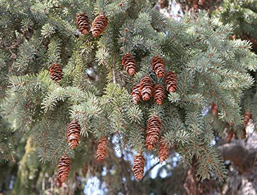 Weiß-Fichte Picea glauca Pflanze 45-50cm Schimmel-Fichte Picea alba weiße Fichte