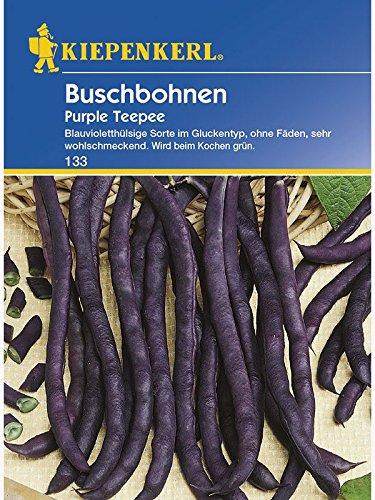 Buschbohnen Purple Teepee