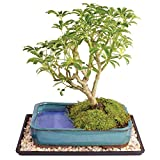 "Brussel's Live Dwarf Hawaiian Umbrella Indoor Bonsai Tree in Water Pot - 7 Years Old; 8"" to 10"" Tall with Decorative Container, Humidity Tray & Deco Rock"