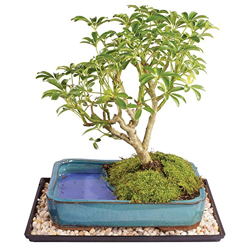 Brussel's Live Dwarf Hawaiian Umbrella Indoor Bonsai Tree in Water Pot - 7 Years Old; 8' to 10' Tall with Decorative Container, Humidity Tray & Deco Rock