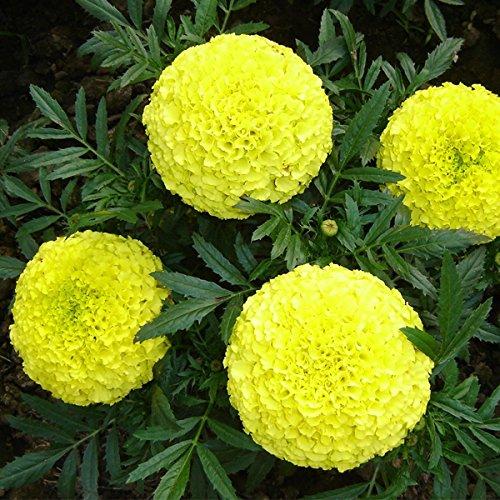 Kraft Seeds Garden Mix of Gainda/African Marigold Flower (Height 30-40 cm, Multicolour, 1000 Pieces)