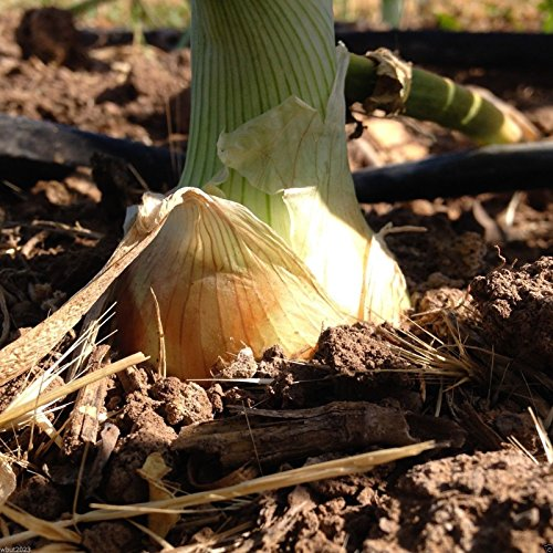 500 seeds - Texas Grano 1015Y - Onion Seeds,Allium cepa. ,Spring,Summer or Fall,Short day!