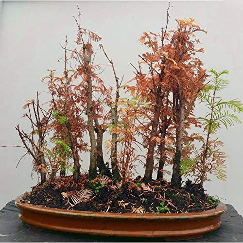 10 Pcs Dawn Redwood Seed Bonsai Indoor Ornamental Plant-Incredible Bonsai Specimen