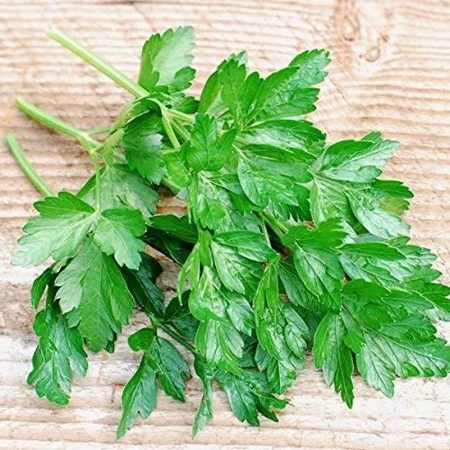 250 graines - Vert foncé italien persil - feuille plat italien persil - Petroselinum neapolitanum