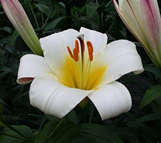 lilium white planet