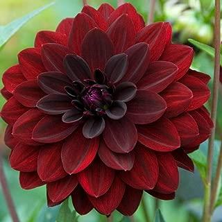 1 Dahlia Arabian Night Deep Red Color Flower Bulb Perennial Summer Blooming