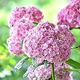 EgBert 50 Unids Vainilla Fresa Hortensias Flor Semillas Plantar Flor Bonsai Árbol Semillas