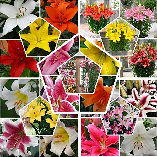 50 x All Summer Lilien Zwiebeln Super Kollektion | Mindestens 20 Sorten | Mehrjährig und Winterhart Blumenzwiebeln Mix | Mischung aus Holland für Garten und Topf | Zwiebelgröße Ø 12-14 cm