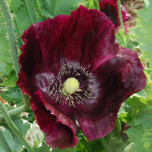 Plant World Seeds - Papaver Somniferum \'Midnight\' Seeds