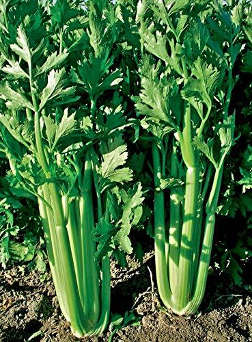 1000 Stangensellerie Tall Utah Samen, Apium graveolens var. dulce
