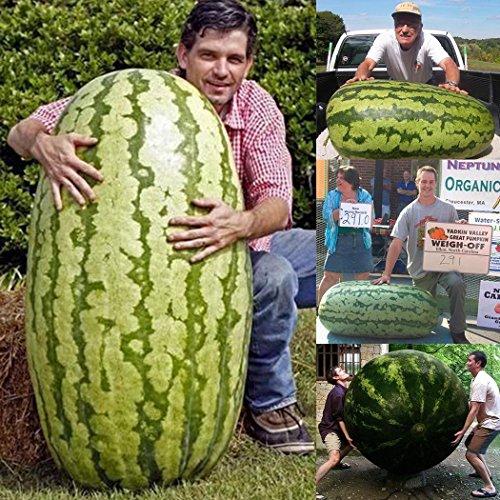 Inkeme Giardino - Rare semi di cocomero gigante'più grande anguria del mondo' Raramente semi di frutta semi di melone dolce-dolce