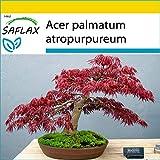 SAFLAX - Set per la coltivazione - Acero palmato rosso - 20 semi - Acer palmatum atropurpureum
