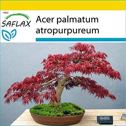 SAFLAX - Anzucht Set - Bonsai - Roter Fächerahorn - 20 Samen - Mit Mini-Gewächshaus, Anzuchtsubstrat und 2 Töpfen - Acer palmatum