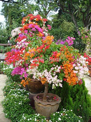 100pcs Mixcolor 'Bougainvillea Spectabilis Willd' Seeds Bonsai Flower Plant Seeds Flowers Flower Pot planters