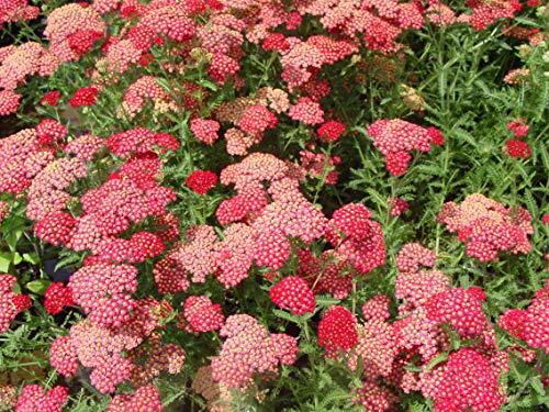 Perennial Farm Marketplace Achillea millefolium 'Paprika' (Yarrow) Perennial, Size-#1 Container, Ruby Red Flowers