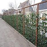Efeu - Hedera Hibernica 75/100cm : 6 kaufen, 4 bezahlen - 6 immergrüne echte Kletterpflanzen für eine 1 Laufmeter 100% Sichtschutz Hecke (Blickdicht) | ClematisOnline