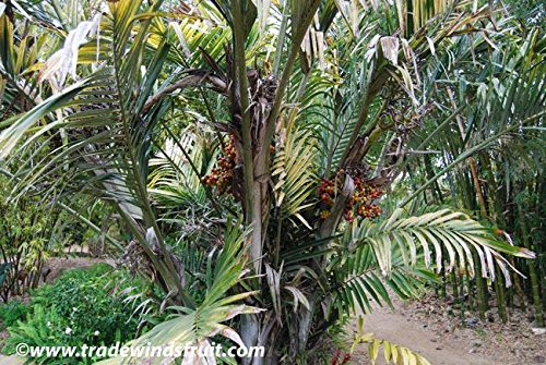 Dwarf Sugar Palm Seeds (Arenga engleri) 2+ Rare Seeds + FREE Bonus 6 Variety Seed Pack - a $29.95 Value! Packed in FROZEN SEED CAPSULES for Growing Seeds Now or Saving Seeds For Years