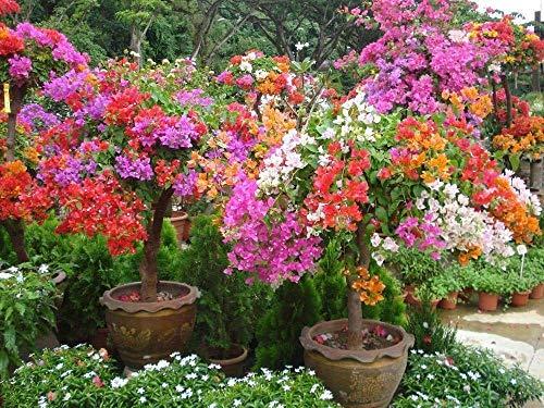Bougainvillea Spectabilis Samen, Innen/Außen oder Bonsai, tropische Kletterpflanze (25)