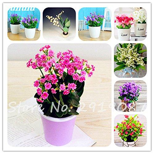50 Pcs Campanula Graines rares Fleur Plante en pot Couleurs mélangées 95% Taux de bourgeonnement vivaces Plantes Bonsai Maison et Jardin 1