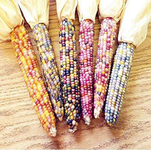 20 graines/pack semences de maïs cireux noir noir collant maïs de graines de maïs cireux noir organique plante bonsaï végétale multicolore
