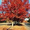 IDEA HIGH Seeds-5pcs albero di quercia rossa semenzale buon paesaggio bonsai albero quercus alba ombra ghianda seedss pianta per giardino domestico fai da te: MISTO #1