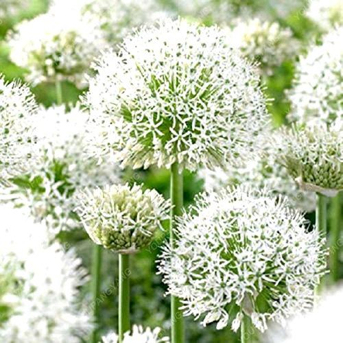 100 PCS Vente Hot Rare blanc géant oignon Graines de fleurs Terrasse Jardin vivace Fleur oignon pot Graines Livraison gratuite