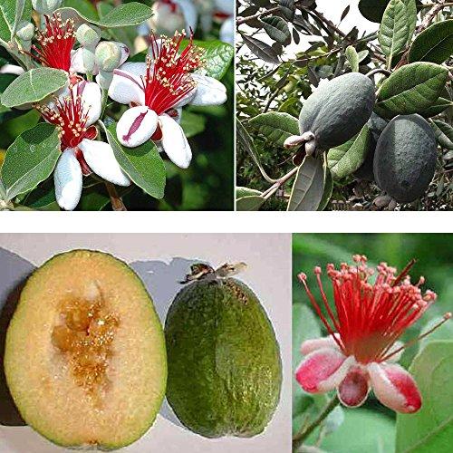 1 PIANTA FEIJOA SELLOWIANA Pineapple Guava proprietà antiossidanti benefiche