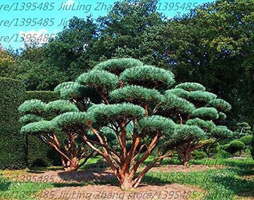 30pcs/sac gaint Deodar graines de cèdre de l'Himalaya Cedar Cedrus Deodara Arbre Graines Monde Rare Bonsaï jardin plante 3