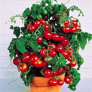 Bloom Green Co. ¡El precio más bajo!Leche tomate rojo bonsai, tomate cherry flores frutas y vegetales orgánicos plantas pl...