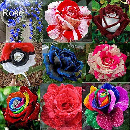 Mixed 9 Types de Rare Rose fleurs vivaces, 50 graines, Rose Noir Rouge Violet chocolat café Blue Rainbow escalade E3806