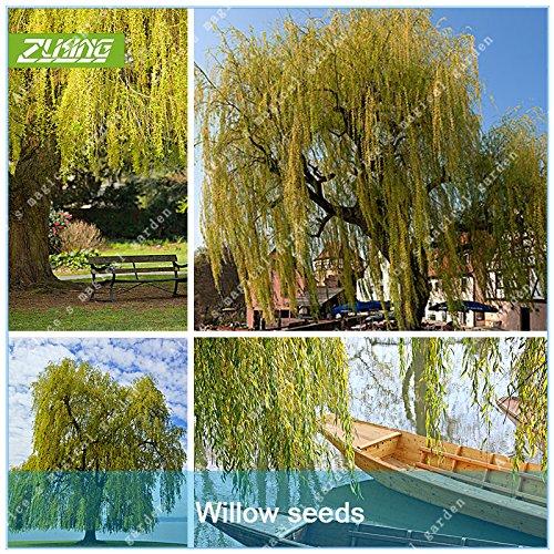 zlking 50PCS Willow Tree Samen Giant Home Garten Dekoration Fresh Green Bonsai Pflanze Samen Beautiful Flower Echte Trauerweide